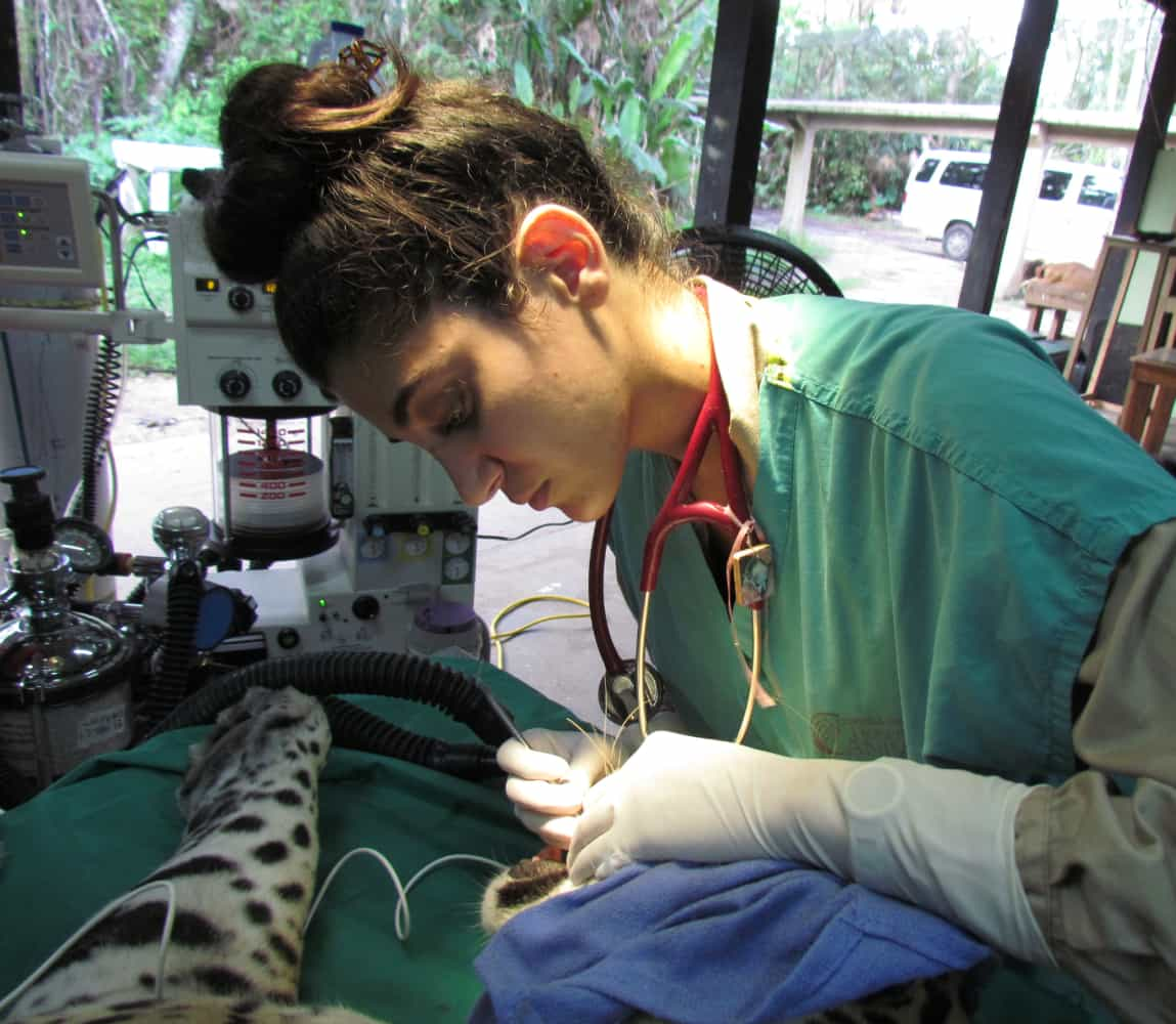 Gabby Wild - Wildlife Veterinary Medicine & Eco-Fashionista | Jaguar (Panthera onca), root canal surgery, Belize
